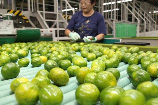 果皮全体が黄色に色づく前に果肉が完熟する「肥のあかり」(9月17日、JA熊本市夢未来柑橘選果場で)