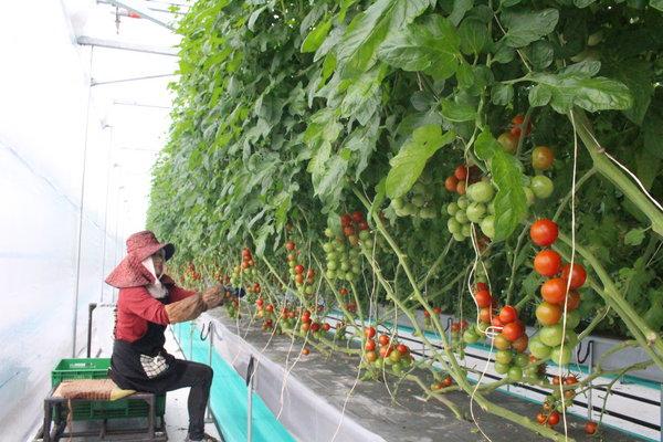 座っての収穫が可能で労力削減につながっている
