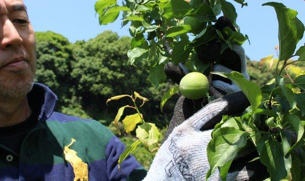「玉英」を収穫する中川部会長