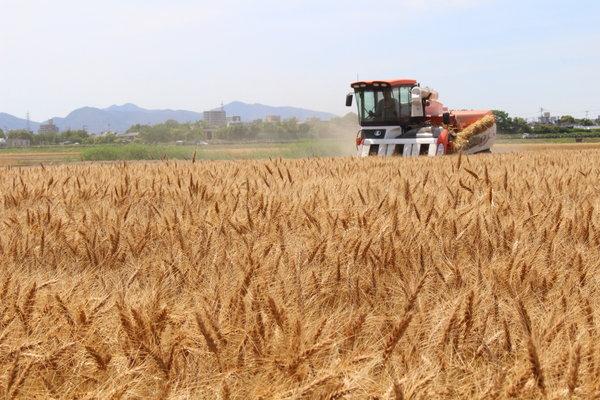 順調に進む「ミナミノカオリ」収穫