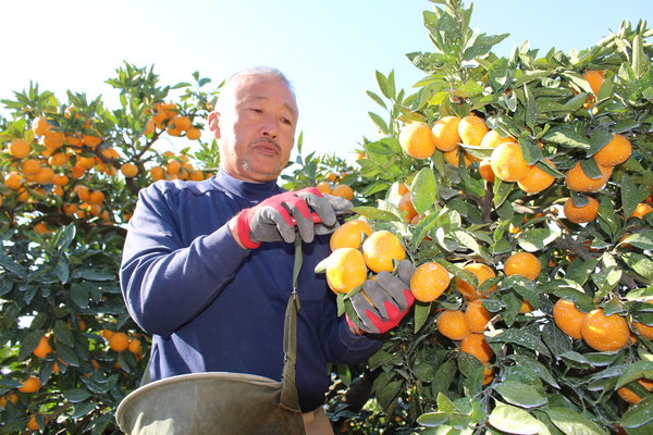 順調に早生ミカンを収穫する中川部会長