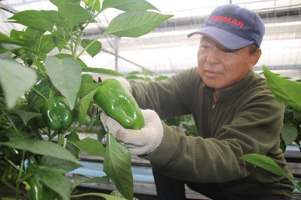 順調にエースピーマンの収穫を進める桝田部会長(12月8日、ハウスにて)