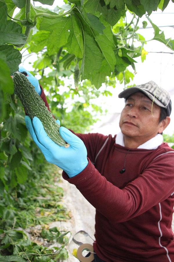レイシの収穫をする緒方部会長