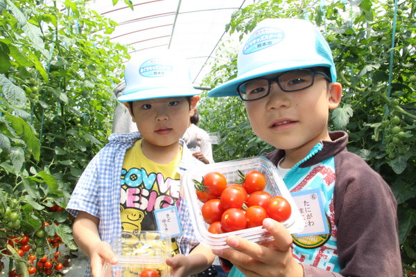 宮本組合長のハウスでミニトマト収穫