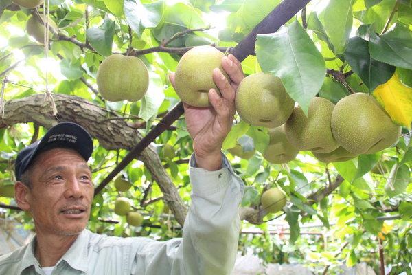 大きく実ったナシ「幸水」を収穫する松本さん