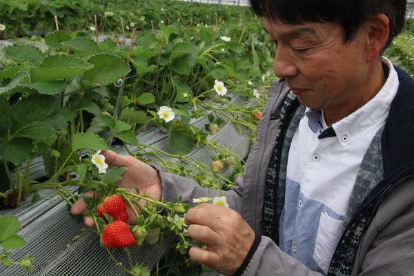 イチゴ「ゆうべに」の手入れをする中川副部会長