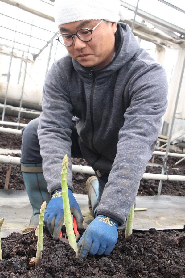 アスパラを収穫する高木さん